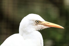 Cattle Egret Bird Stock Images