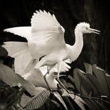 Cattle egret courtship display. Cattle egret bird courtship display stock photos