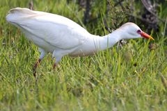 Cattle Egret Bird Stock Photos
