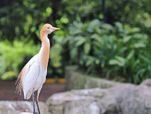 Cattle egret bird Stock Photo