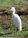 Cattle Egret bird Kauai Stock Images