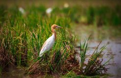 Cattle Egret Bird stock photography