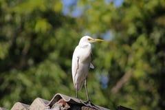 Cattle egret / Bird cattle egret stock photos