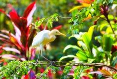 Cattle egret, bird walking in blooming garden Stock Photos