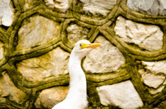 Cattle egret bird wandering bevore a stonewall. Potrait of white cattle egret bird bevore a wall Stock Images