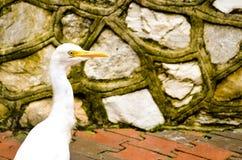Cattle egret bird wandering bevore a stonewall. Potrait of white cattle egret bird bevore a wall Stock Photo