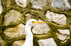 Cattle egret bird wandering bevore a stonewall. Potrait of white cattle egret bird bevore a wall Royalty Free Stock Photography