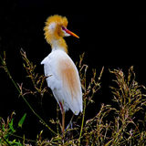 Cattle Egret birds. On the Bamboo forest Stock Images