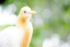Cattle egret. On blurred and bokeh background Royalty Free Stock Photography