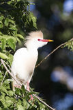 Cattle egret on branch Royalty Free Stock Images