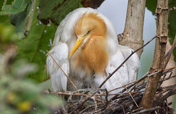 . Cattle Egret in Breeding Color in Nest with a Chick. Adult staring right at the camera Stock Photos