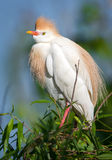 Cattle Egret in Breeding Plumage Perched Stock Image