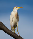 Cattle egret in Breeding Stock Photo
