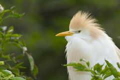 Cattle Egret, Bubulcus ibis Stock Images