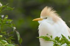 Cattle Egret, Bubulcus ibis Stock Images