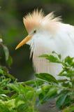 Cattle Egret, Bubulcus ibis Stock Image