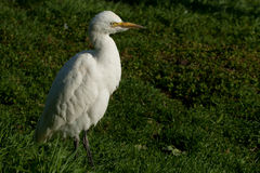 Cattle egret (bubulcus ibis) Stock Images