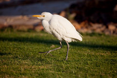 Cattle Egret (Bubulcus ibis) Royalty Free Stock Photo