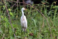 Cattle Egret(Bubulcus ibis) Stock Photos
