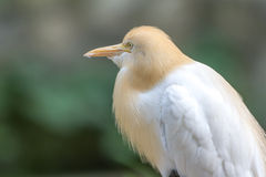 Cattle Egret (Bubulcus ibis) in bird park Royalty Free Stock Images