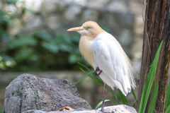 Cattle Egret (Bubulcus ibis) in bird park Royalty Free Stock Image