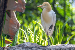 Cattle Egret (Bubulcus ibis) in bird park Royalty Free Stock Photos