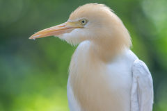 Cattle Egret (Bubulcus ibis) in bird park Stock Photo