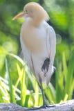 Cattle Egret (Bubulcus ibis) in bird park Stock Photography