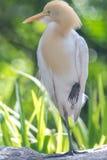 Cattle Egret (Bubulcus ibis) in bird park Stock Photos