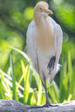 Cattle Egret (Bubulcus ibis) in bird park Stock Images