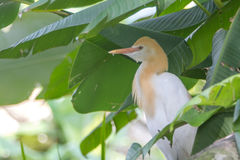 Cattle Egret (Bubulcus ibis) in bird park Royalty Free Stock Photography