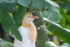 Cattle Egret (Bubulcus ibis) in bird park Stock Image