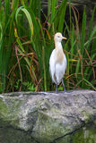 Cattle Egret (Bubulcus ibis) in bird park Stock Photos