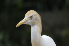 Cattle-egret, Bubulcus ibis Royalty Free Stock Photo