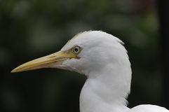 Cattle-egret, Bubulcus ibis Stock Photo