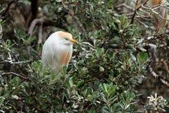 Cattle Egret (Bubulcus ibis) Bird on Tress Stock Image