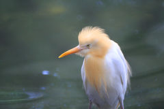Cattle egret, bubulcus ibis, with breeding colors Stock Photos