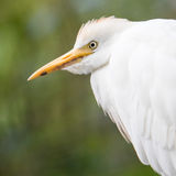 Cattle Egret, Bubulcus ibis. With breeding colors on nest with green background Royalty Free Stock Photos