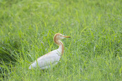 Cattle Egret. (Bubulcus ibis) in Breeding Plumage perching in a Green Grass stock photo