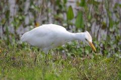 Cattle Egret (Bubulcus ibis) Royalty Free Stock Photos