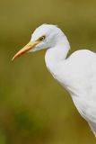 Cattle Egret Bubulcus ibis. In the Florida Everglades Stock Photos