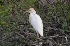 Cattle Egret Bubulcus ibis. In the Florida Everglades Royalty Free Stock Image