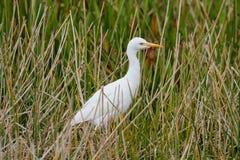 Cattle Egret & x28;Bubulcus ibis& x29;. Cattle Egret & x28;Bubulcus ibis& x29; in the Florida Everglades Royalty Free Stock Photo