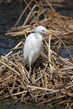 Cattle Egret (Bubulcus ibis) in Florida Royalty Free Stock Images