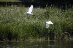 Cattle Egret bubulcus ibis glide across river royalty free stock photo