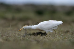 Cattle egret, Bubulcus ibis Royalty Free Stock Images