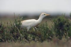 Cattle egret, Bubulcus ibis Royalty Free Stock Photos