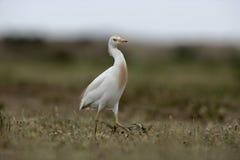 Cattle egret, Bubulcus ibis Stock Photos