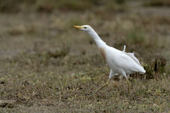 Cattle egret, Bubulcus ibis Royalty Free Stock Photo