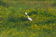 Cattle Egret Bubulcus ibis in green grass. With yellow flowers Royalty Free Stock Photography